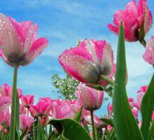 Pink Tulip Fields Sticker