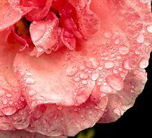 Rose droplets by ElidArt