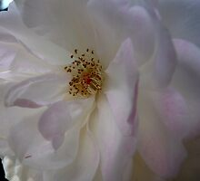 White Iceberg rose by minerva13
