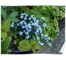 Blue Forget-Me-Nots Poster