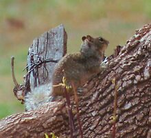 Spotted Ground Squirrel by Arla M. Ruggles