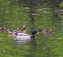 mallad, duck, family, waterfowl, duckling,  Sticker