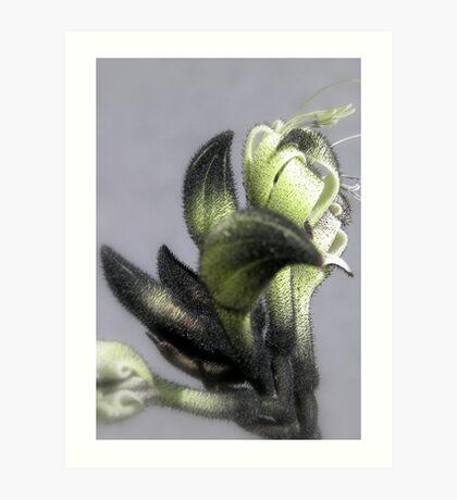 Black Kangaroo Paw - Macropidia fuliginosa Art Print