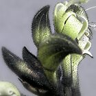 Black Kangaroo Paw - Macropidia fuliginosa by Robert Jenner