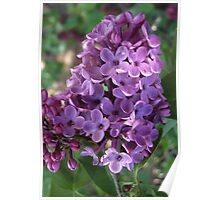 Luscious Lilac Poster