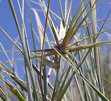Spinifex & blue sky by Karen Eaton