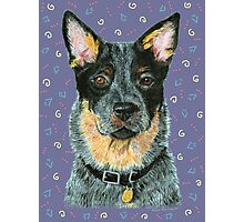 Beaut Australian Cattle Dog Photographic Print