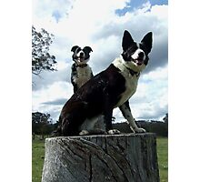 dogs on stumps Photographic Print