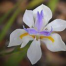 White Iris Beauty by Bev Woodman