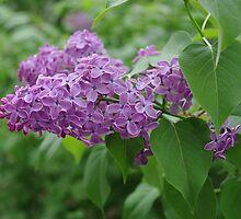 Lilac, colorful and fresh by Nikolaj Masnikov