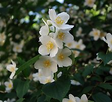 Jasmine, fresh and aromatic by Nikolaj Masnikov