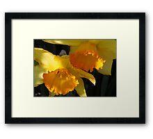 Daffodils...... Framed Print