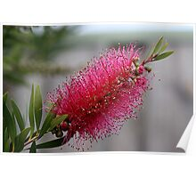 Callistemon (Pink Bottle Brush ) Poster