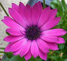 Perfect Pink Petals - Cape Daisy Close-up by MidnightMelody