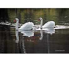 Swans Partner for Life Photographic Print