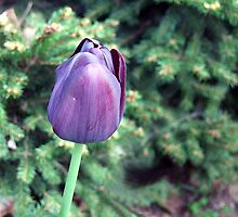 Purple Tulip by George Cousins