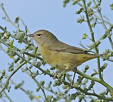 Orange-crowned Warbler? by tomryan