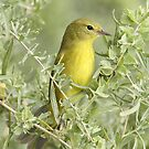 Orange-crowned Warbler by tomryan