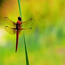 Dragonfly ~The  Beauty From With In by Carla Jensen