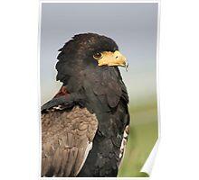 Portrait of a Bateleur Eagle Poster