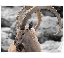 Male Ibex Poster