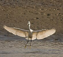 Little Egret landing by Jon Lees
