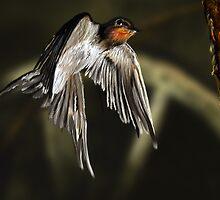 Swallow in Flight by AlanRoberts