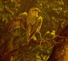 Greenfinch by AlanRoberts