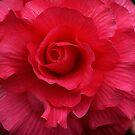 Begonia by Jann Ashworth