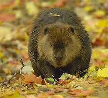 Canadian Beaver by gregsmith