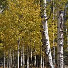Northern Arizona Aspens by Joy Skinner