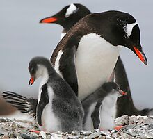 Gentoo with 2 healthy chicks by parischris