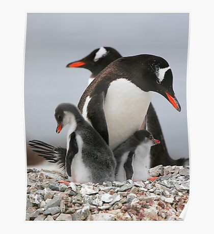 Gentoo with 2 healthy chicks Poster