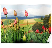Tulips in bloom. Dandenong Ranges, Victoria, Australia Poster