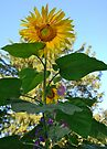 Sunflower and Morning Glories, The Perfect Team... by Ainsley Kellar Creations