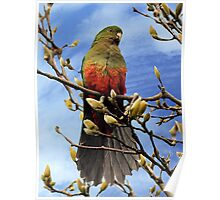King Parrot in Magnolia Tree #2 Poster