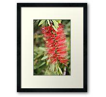 Bushy Red Framed Print