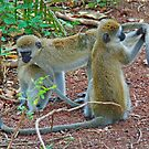 Vervet Monkeys - Lake Manyara National Park, Tanzania, Africa by Adrian Paul