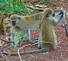 Vervet Monkeys - Lake Manyara National Park, Tanzania, Africa by Adrian Paul