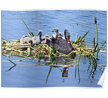 Black Swan & Cygnets resting Poster