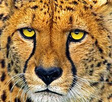Cheetah the stare! by Dave  Knowles