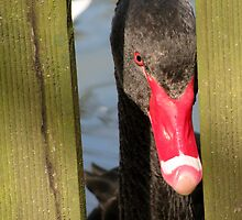 Black Swan confined by Caroline Anderson