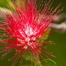 BottleBrush Flower by Richard Keech