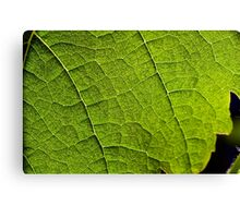 back lit vineyard leaves Canvas Print