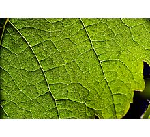 back lit vineyard leaves Photographic Print