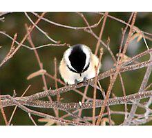 Black-capped Chickadee 1 Photographic Print