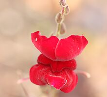 Red Snapdragon by ElyseFradkin