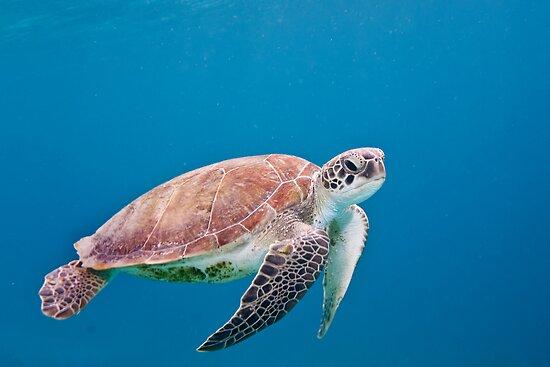 Sea Turtle by jnhPhoto
