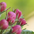Buds in May by Heather Thorsen