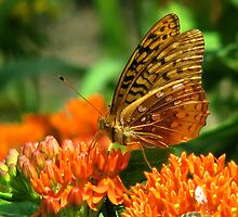 Great Spangled Fritillary  by swaby